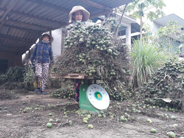 Giá cau ở Quảng Ngãi tăng đột biến mang về nguồn thu nhập khá cao cho người dân.