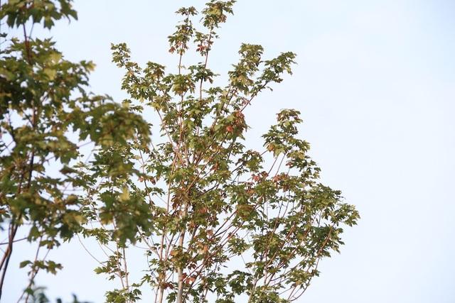 Những lá phong đỏ đang trong giai đoạn chuyển màu, nổi bật giữa tán cây xanh