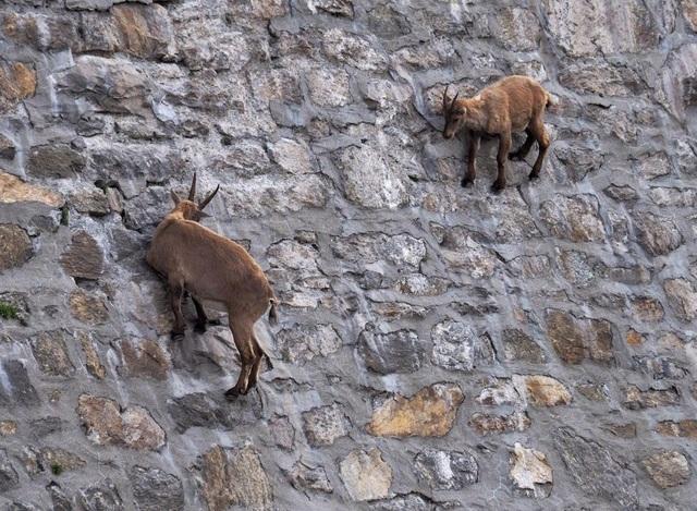 Bầy dê núi quen với địa hình khó khăn, nên chúng không quá vất vả khi di chuyển trên vách đá gần như thẳng đứng