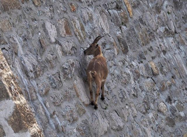 Một con dê đang liếm phần muối và chất khoáng bám trên vách đá