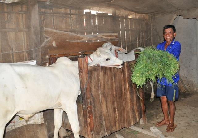 Nhờ tuyên truyền vận động, hiện nay nhiều hộ dân tộc Khmer biết làm kinh tế, nuôi bò tách khỏi nhà ở...
