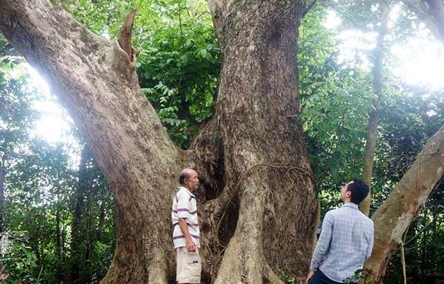 """Cây sưa """"khủng"""" khoảng 300 năm tuổi, có 3 nhánh lớn"""