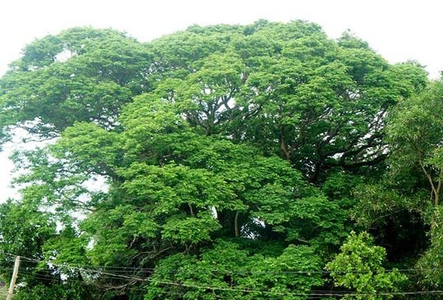 Lá xanh tốt, tán cây bao phủ cả một khoảng không gian rộng lớn