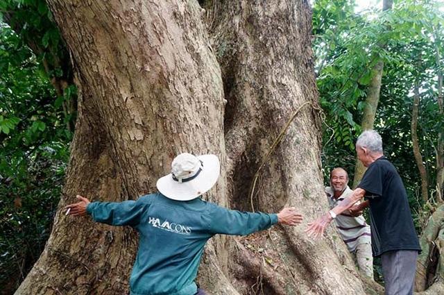 Phần thân cây phải 7-8 người dang tay mới ôm hết