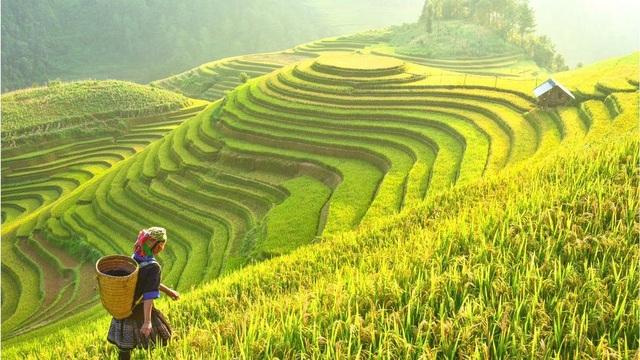Lúa đang được thu hoạch ở Tây Bắc Việt Nam