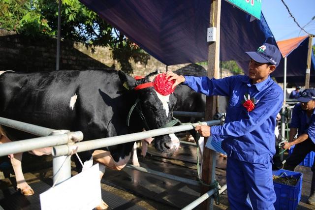 """Các """"cô"""" bò được chủ nhân chăm sóc kỹ lưỡng trước khi cuộc thi bắt đầu."""