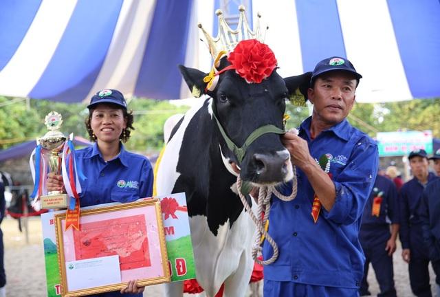 """Chủ nhân vương miện """"hoa hậu bò sữa 2018"""" thuộc về """"cô"""" bò mang số hiệu 13568 của chủ hộ Lê Xuân Tiến."""