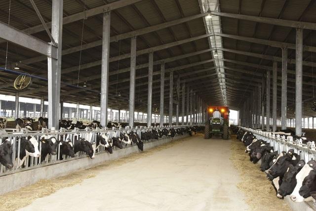 Trang trại bò sữa TH tại Nghĩa Đàn hiện có quy mô hơn 45.000 con, được chăn nuôi theo các phương pháp hiện đại, ứng dụng công nghệ cao