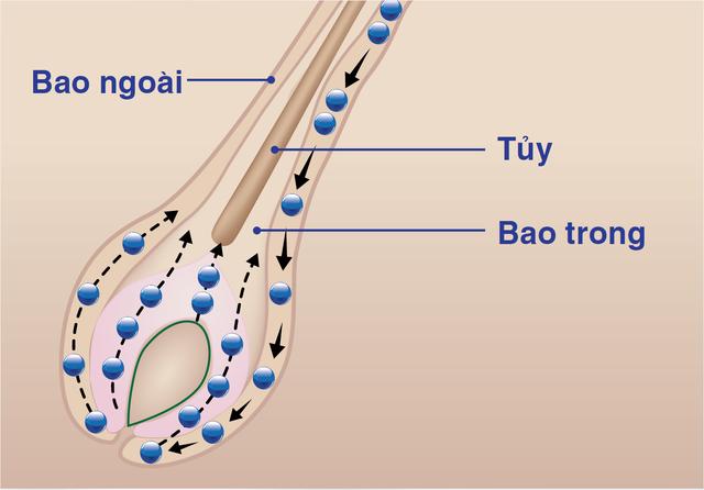Càng nhiều Tế Bào Mầm Tóc tham gia vào quá trình biệt hóa, tóc càng mọc nhanh, chắc khỏe.