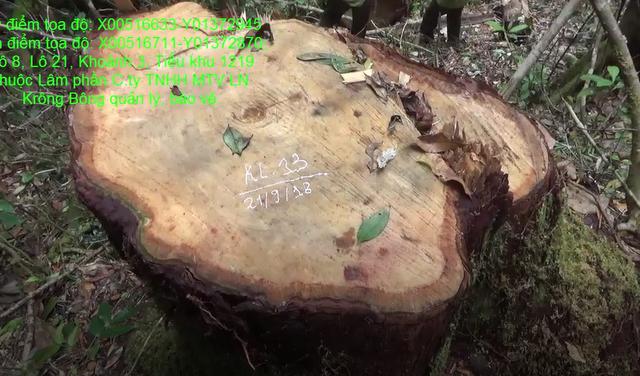 Hiện trường vụ chặt hạ hàng chục cây pơ mu quý (ảnh Chi cục Kiểm lâm cung cấp)