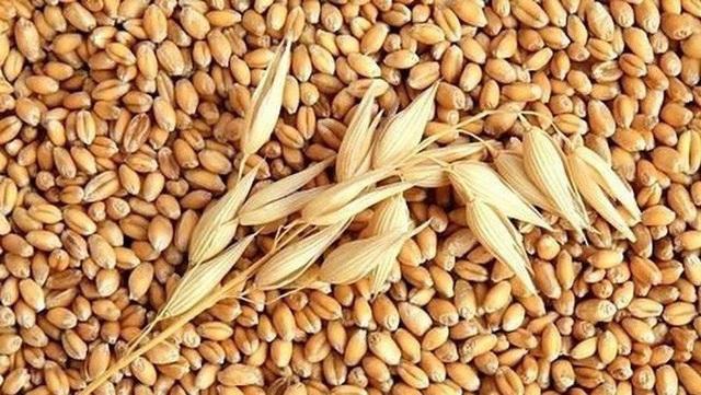 Bộ trưởng Văn phòng Chính phủ yêu cầu Bộ NN&PTNT thu hồi văn bản xử lý trái thẩm quyền đối với lúa mì nhập khẩu có lẫn hạt cỏ dại kế đồng.
