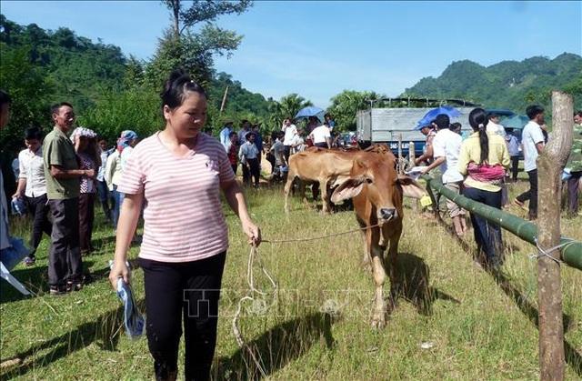 Trao tặng bò giống sinh sản cho các hộ nghèo và cận nghèotrên địa bàn tỉnh Tuyên Quang. Ảnh: Quang Cường/TTXVN