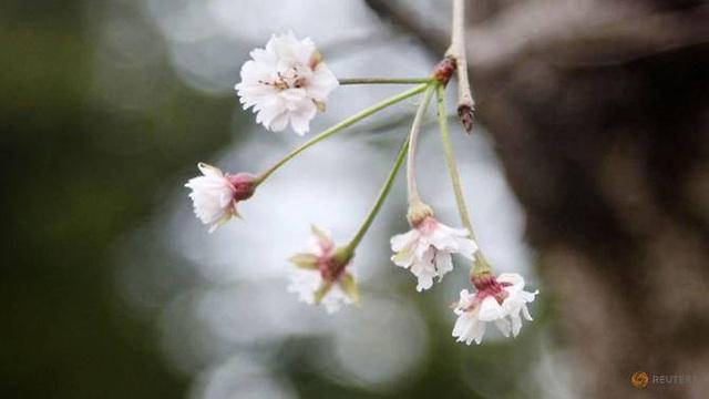 Một số cây hoa anh đào ở Sendai, phía bắc Nhật Bản, bất ngờ nở sớm