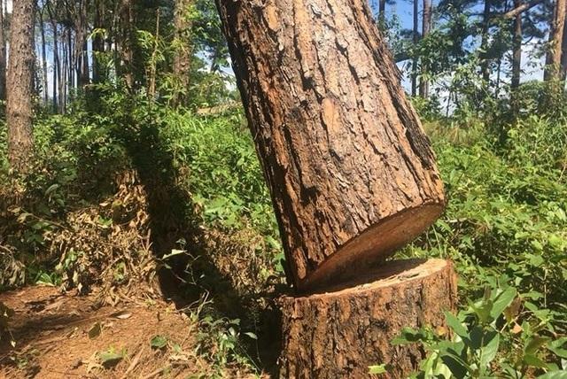 Một gốc cây lớn bị cưa hạ tại hiện trường