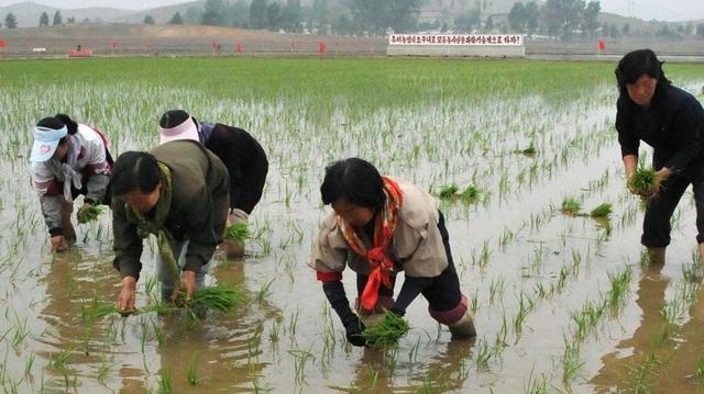 Nông dân Triều Tiên cấy lúa tại nông trại hợp tác ở Nampo (Ảnh: Kyodo)