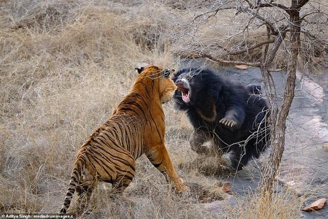 Gấu mẹ không ngần ngại tung đòn đáp trả con hổ.