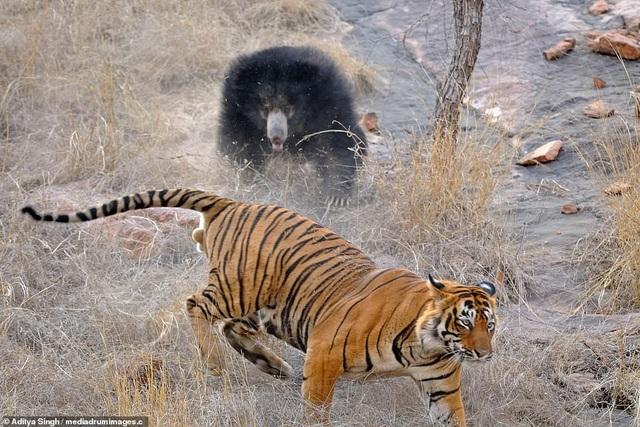 Sau một hồi giao chiến, con hổ đành quay lưng bỏ đi.