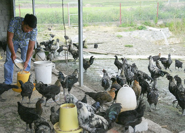 Mỗi ngày anh Linh cho đàn gà đen ăn 3 bữa, để đảm bảo đầy đủ chất dinh dưỡng cho đàn gà phát triển.