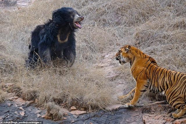 Gấu mẹ nghênh chiến với kẻ săn mồi khát máu.