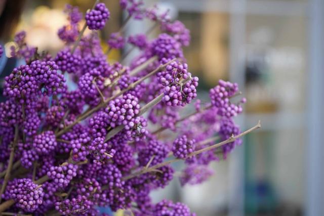 Màu tím mộng mở của hoa Callicarpa Profusion (Hoa tử châu)
