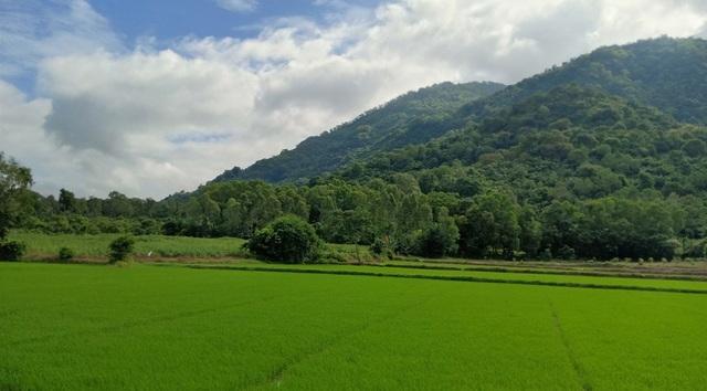 Những cánh đồng lúa chạy dài dưới dãy Thất Sơn của An Giang