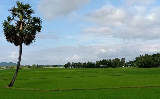 Giữa cánh đồng lúa ở huyện Tri Tôn, Tịnh Biên luôn có những cây Thốt Nốt sừng sững mọc giữa đồng thế này