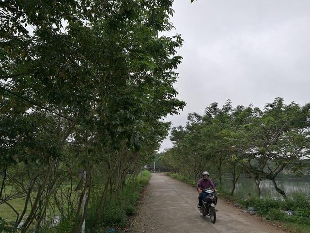 Khắp đường làng, bờ ao, vườn tược trong thôn Làng Chanh đều được tận dụng để trồng sưa
