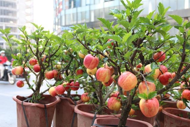 Dù được trồng trong chậu nhưng những cây táo bonsai vẫn xanh tốt và sai trái.