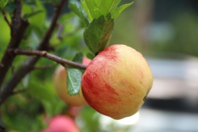 Mỗi một cây táo cảnh có từ 10-20 quả táo chín mọng.