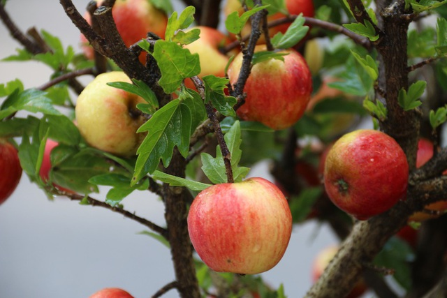 """Đây là giống táo lùn đỏ hay còn gọi là """"táo Tây siêu lùn nhiệt đới"""""""