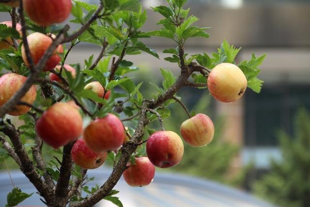 Kết quả hình ảnh cho Cây táo bonsai