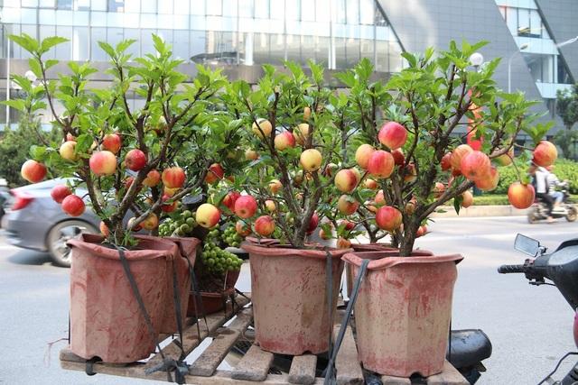 Táo cảnh bonsai được bày bán tại nhiều tuyến phố Hà Nội dịp 20/10