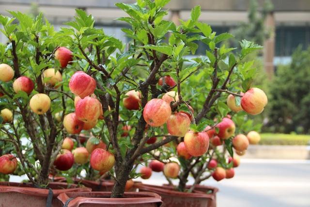 Mỗi cây táo cao từ 60-80cm, phần ngọn cây sai trĩu trịt quả.