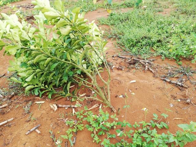 Gia đình thương binh già 5 ngày 3 lần bị kẻ xấu phá vườn, triệt cây trồng - 2