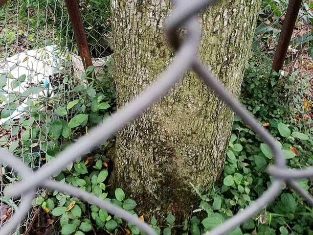 """Ông Bắc làm hàng rào lưới xung quanh gốc để phòng """"sưa tặc"""""""