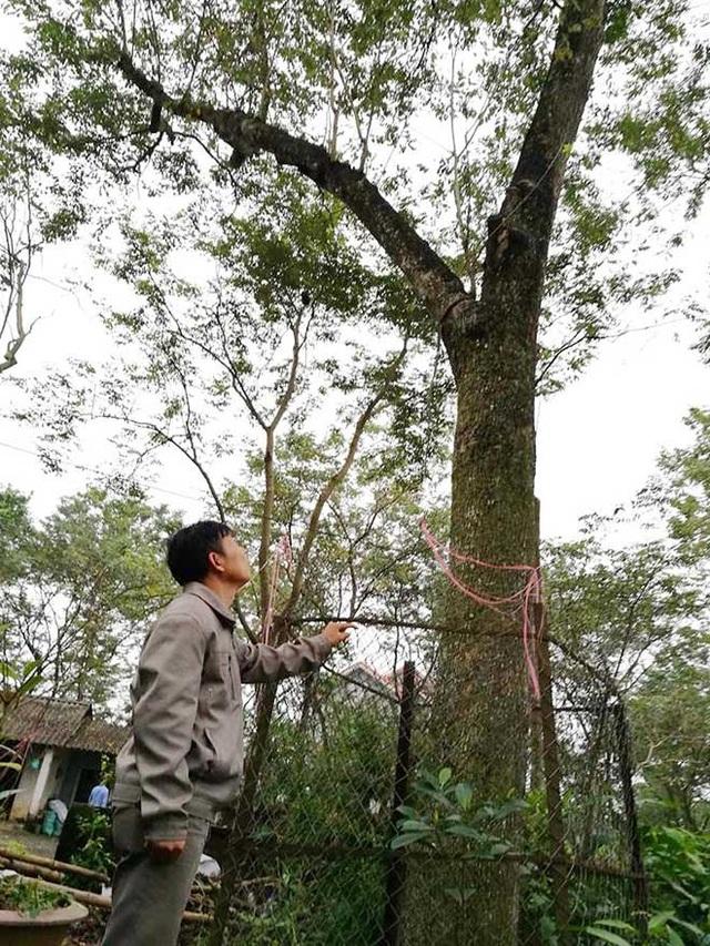 """Ông Lăng Văn Bắc bên cây """"sưa tổ"""" của gia đình"""
