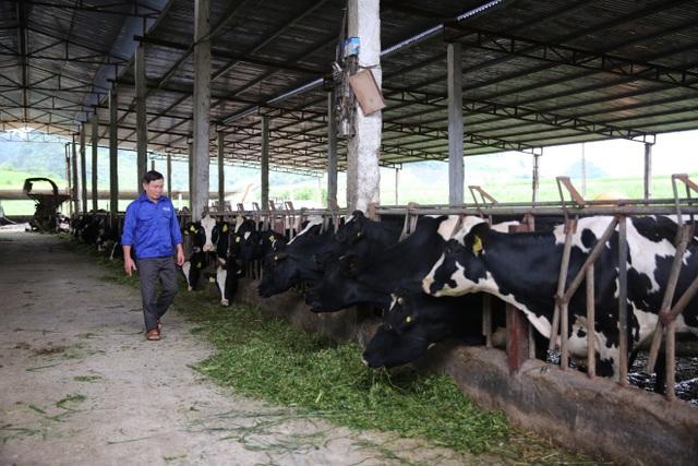 """Ông Quất trong trang trại 208 """"cô"""" bò của gia đình"""