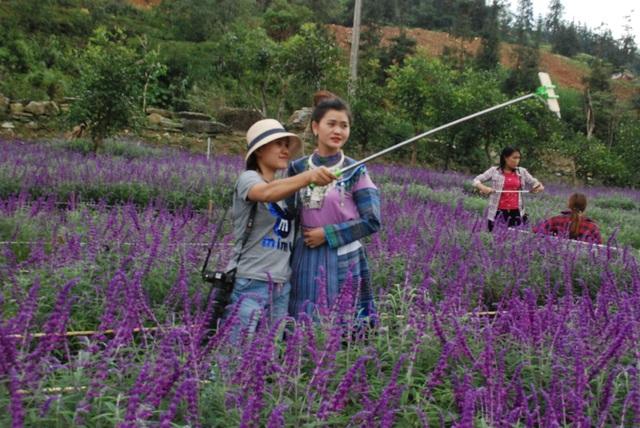 Cánh đồng hoa Oải hương do Công ty dịch vụ du lịch Việt Tú ( tỉnh Lào Cai) nhập hạt giống từ nước ngoài mang về gieo trồng nở hoa thành công ở Khu du lịch sinh thái Thung lũng hoa Bắc Hà.