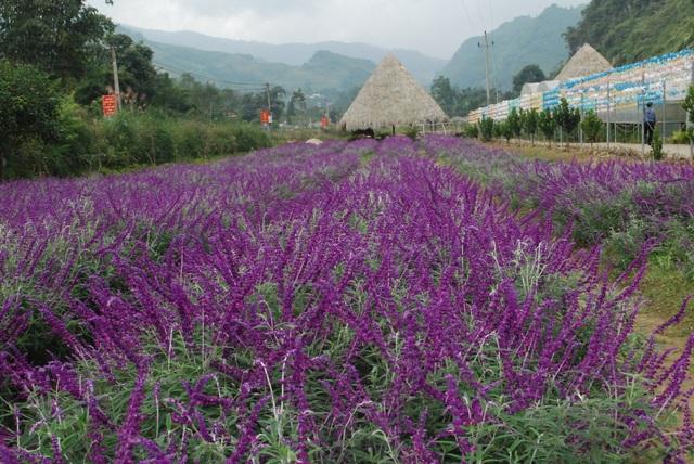 Cận cảnh loài hoa Oải hương khoe sắc tím tuyệt đẹp ở vùng núi cao Bắc Hà ( tỉnh Lào Cai).