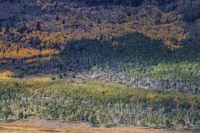 Rừng cây dương lá rung, thực thể lớn nhất trên Trái Đất, hiện đang đứng trước nguy cơ sụp đổ.