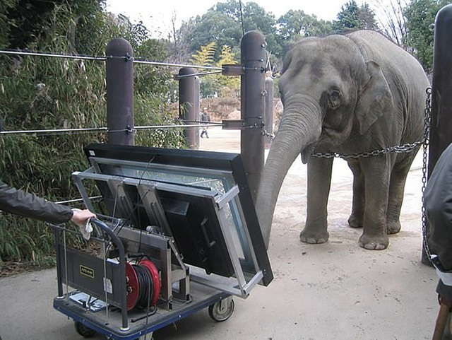 Chú voi Authai trình diễn khả năng toán học với màn hình cảm ứng.