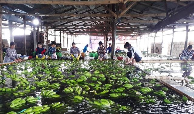 Hiện nay, vườn chuối của ông không chỉ mang về nguồn thu lớn cho gia đình mà còn giải quyết khoảng 100 lao động cho địa phương