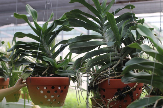 Hai cây lan rừng Đai Châu được anh Tấn chăm sóc nhất vườn từ khi chỉ là những nhánh nhỏ.