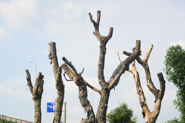 Số lượng cây có dấu hiệu đã chết chiếm khoảng 30 - 40% tổng số cây tại điểm tập kết.