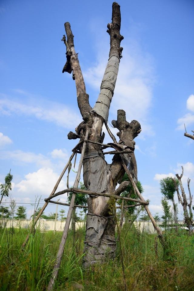 Trong số những cây xà cừ được trồng lại ở điểm tập kết, có hàng chục cây dường như đã chết khô.  Một số người dân sống quanh khu vực cho biết, cây đã được đánh chuyển về đây từ lâu, cỏ mọc um tùm, không thấy có người chăm sóc.