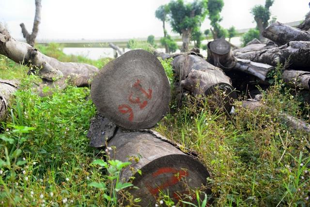 Các khúc gỗ, đều là những thân cây lớn, được đánh số.
