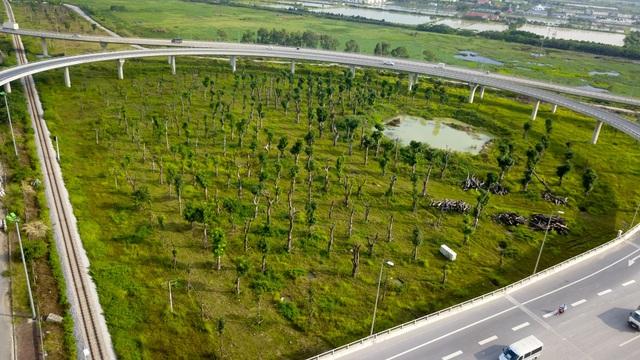 Khu vực nút giao đường 5 - cầu Thanh Trì thành điểm tập kết, trồng lại hàng chục cây xà cừ lớn sau khi được đánh chuyển từ nơi khác về.