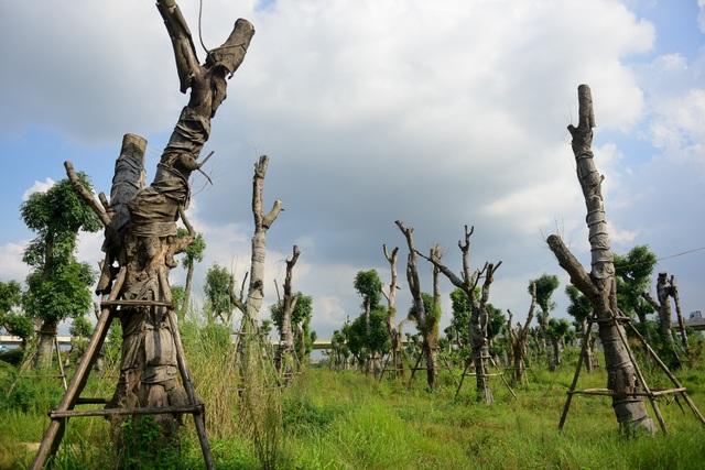 Nhiều cây thân vỏ nứt toác, để lộ phần lõi héo khô.
