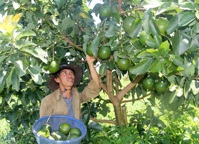 Vườn bơ sạch sai trĩu quả của chàng thanh niên quê Quảng Ngãi