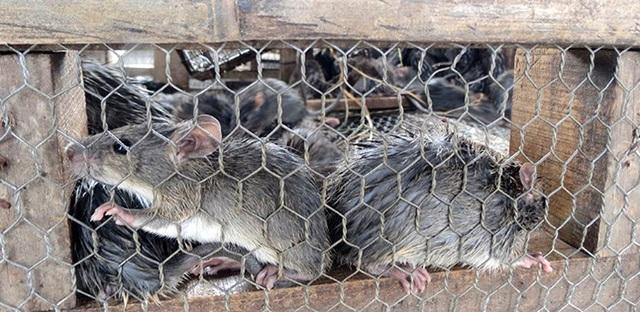 Chuột đồng trở thành một trong những đặc sản miên quê